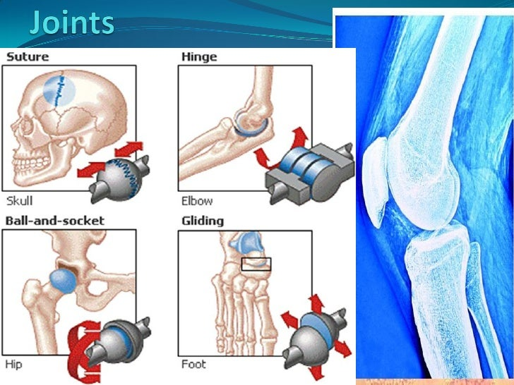Arthrology  Bones are too rigid to bend. Flexible connective tissues   from joints and permit movement.  A joint, also c...