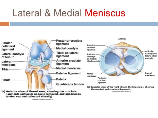 Anatomy physiology lecture notes joints bursa fluid filled sac ccuart Choice Image
