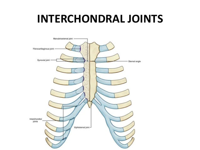 Joints Of Thorax A symphysis is a fibrocartilaginous fusion between two bones. joints of thorax