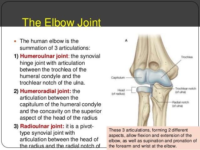 upper limb joints.