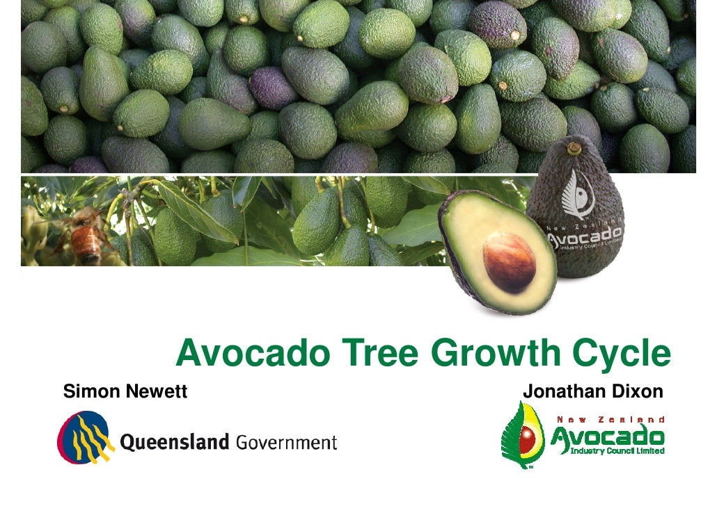Avocado Tree Growth Cycle Simon Newett               Jonathan Dixon
