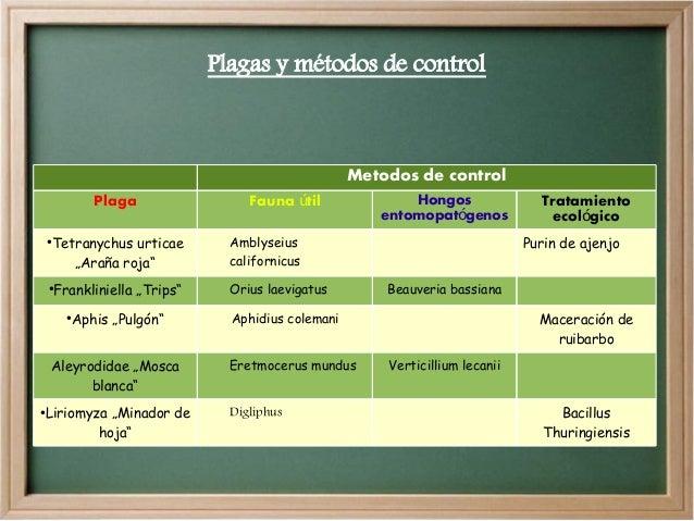 """Plagas y métodos de control  Metodos de control Plaga ●  Tetranychus urticae """"Araña roja"""" Frankliniella """"Trips""""  Orius lae..."""