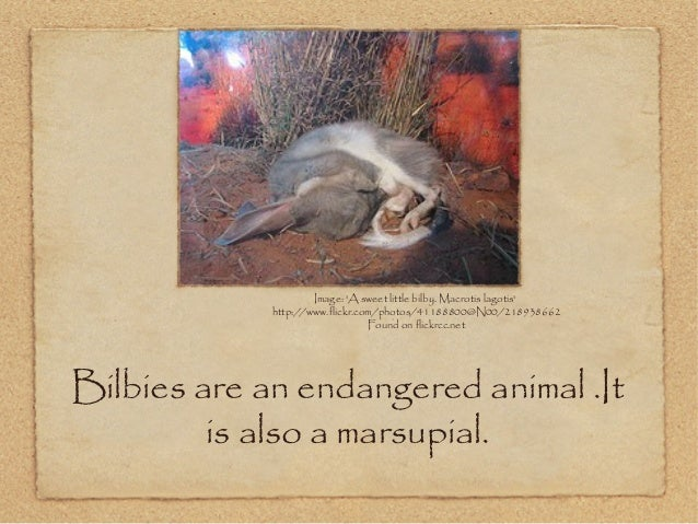 Bilbies are an endangered animal .It is also a marsupial. Image: 'A sweet little bilby. Macrotis lagotis' http://www.flick...