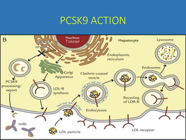 pcsk9 hepatocyte specific role dissected essay
