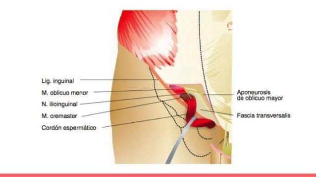 Anatomía de la región inguinal