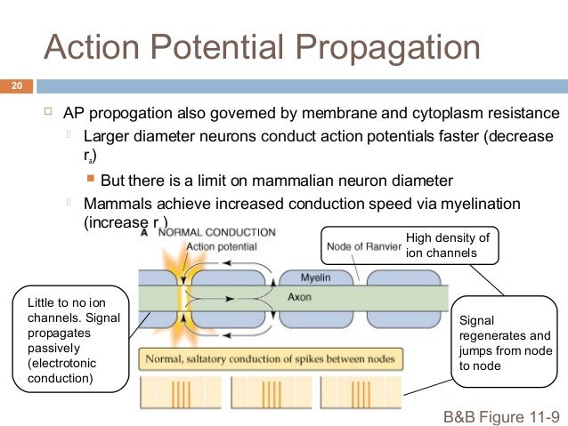 action potential propagation Action potential of neurons  the neuron transmits the signal as an impulse called an action potential during an action potential,.