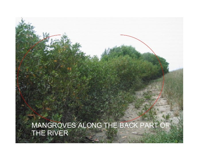 MANGROVES ALONG THE BACK PART OF THE RIVER