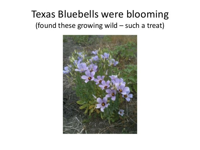 Texas Bluebells were blooming(found these growing wild – such a treat)