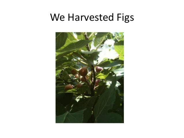 We Harvested Figs