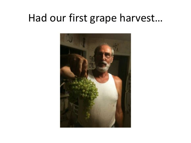 Had our first grape harvest…