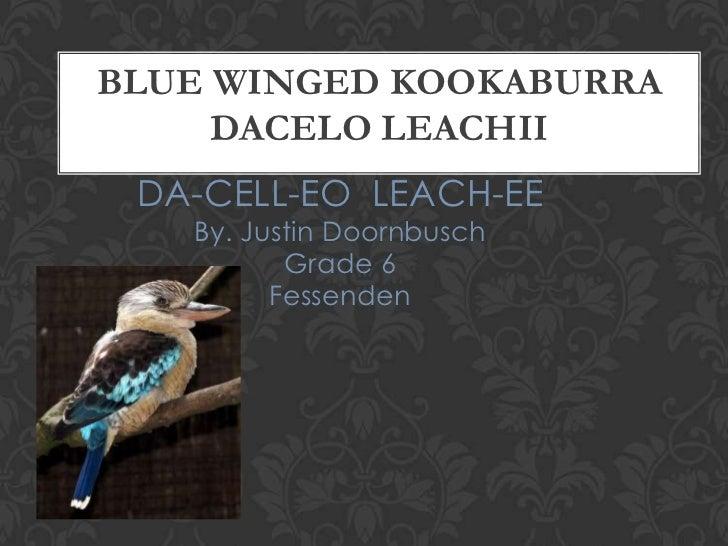 BLUE WINGED KOOKABURRA     DACELO LEACHII DA-CELL-EO LEACH-EE   By. Justin Doornbusch          Grade 6         Fessenden