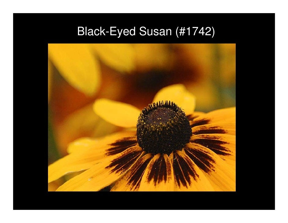 Black-Eyed Susan (#1742)