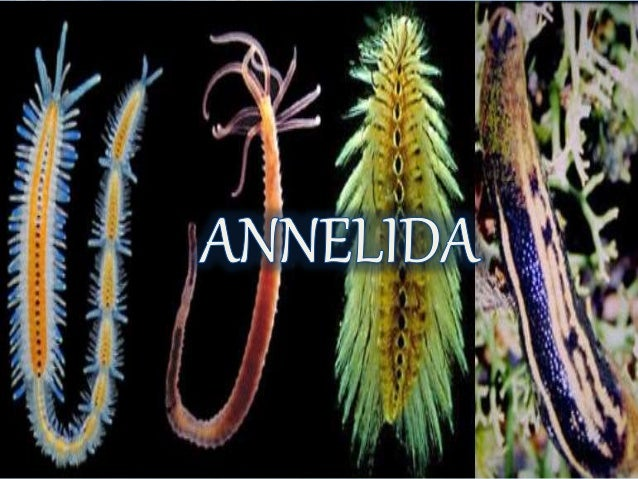 Ciri-Ciri Annelida, Cara Reproduksi, Klasifikasi dan Perannya Dalam Kehidupan