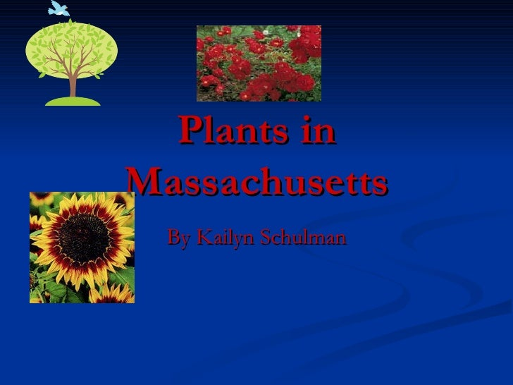 Plants in Massachusetts By Kailyn Schulman