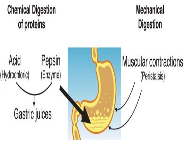 Digestion in monogastric animal and hormonal control