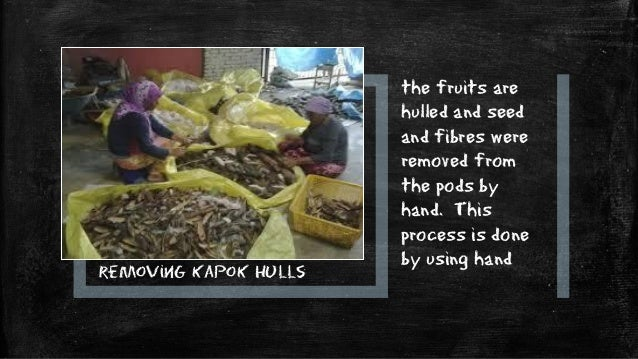 DRYING Kapok fibre is dried under the sun for 3 to 5 hours for complete drying.