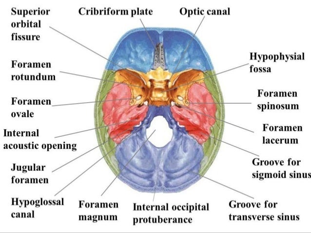 sphenoid bone ppt – citybeauty, Human body