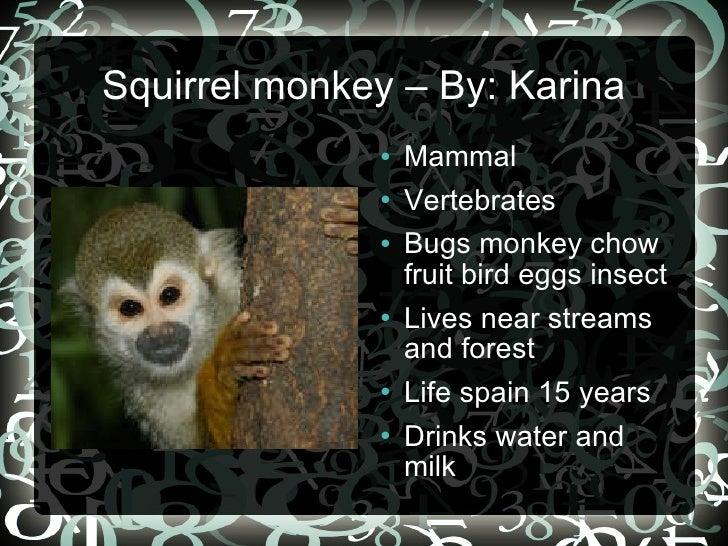 Squirrel monkey – By: Karina <ul><li>Mammal </li></ul><ul><li>Vertebrates </li></ul><ul><li>Bugs monkey chow fruit bird eg...