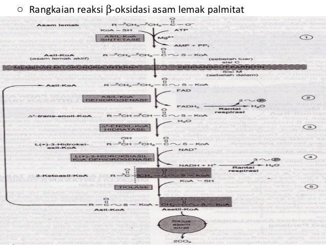 Katabolisme asam lemak 4 o rangkaian reaksi oksidasi asam lemak palmitat ccuart Choice Image