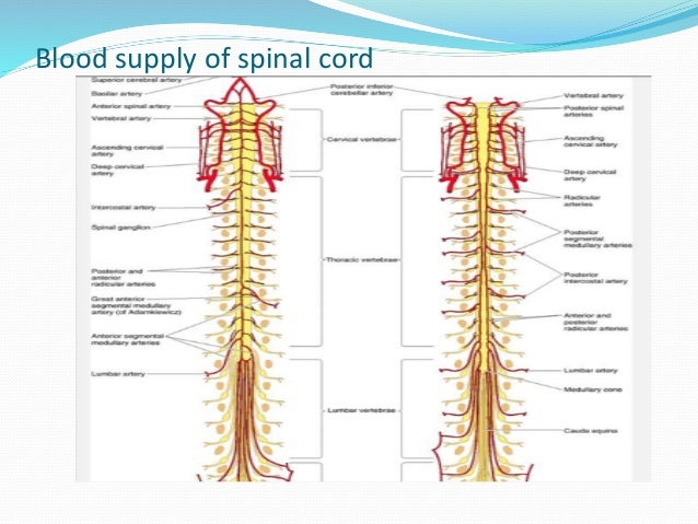 anatomy,physiology of spinal cord 7CSF