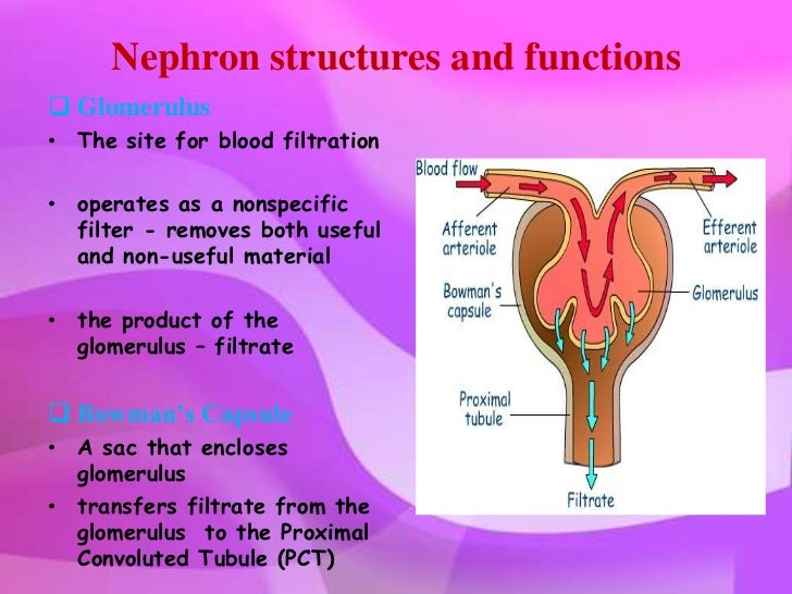 Kidney anatomy physiology and disorders nephron structures ccuart Image collections