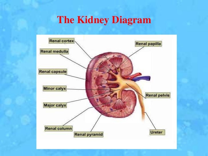 Kidney anatomy, physiology and disorders