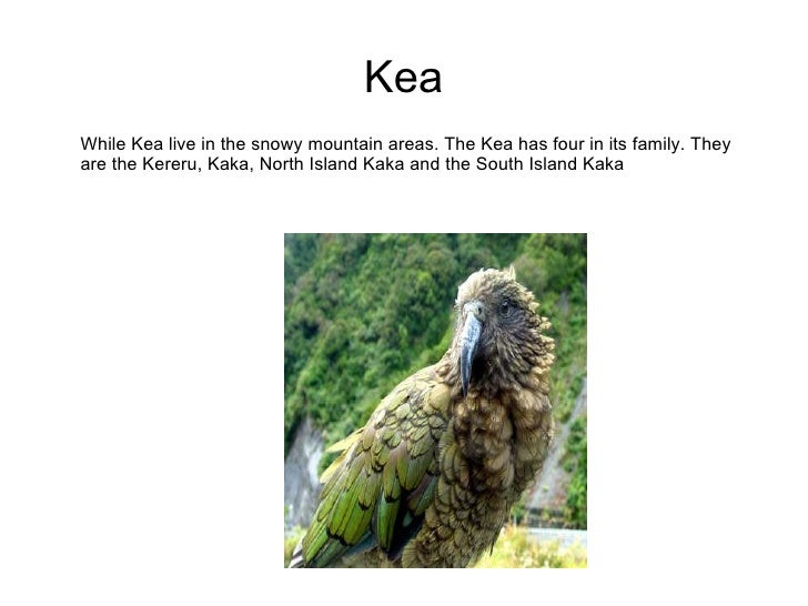 Kea While Kea live in the snowy mountain areas. The Kea has four in its family. They are the Kereru, Kaka, North Island Ka...