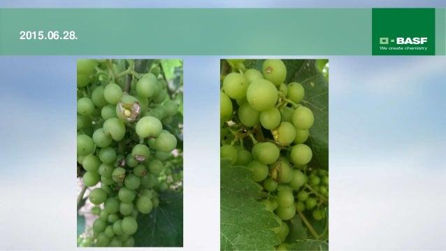 A Vivando® megakadályozza, hogy a lisztharmatgomba a növénybe hatoljon A lisztharmatgomba fejlődése kezeletlen növényen 24...