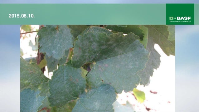 A Collis® tulajdonságai Hatóanyag: Krezoxim-metil Boscalid Kémiai csoport: strobilurin karboxamid Koncentráció: 100 g/l 20...