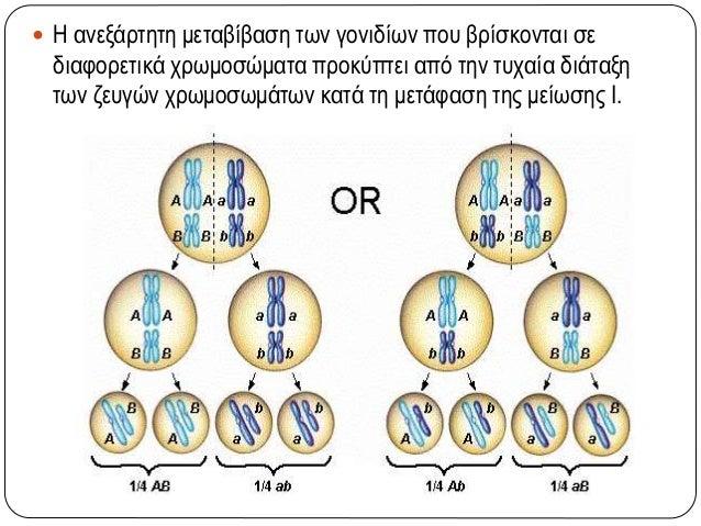  Η ανεξάρτητη μεταβίβαση των γονιδίων που βρίσκονται σε διαφορετικά χρωμοσώματα προκύπτει από την τυχαία διάταξη των ζευγ...