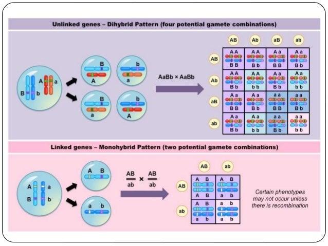 Θνησιγόνα αλληλόμορφα  Τα γονίδια αρχίζουν τη λειτουργία τους πολύ σύντομα μετά τη γονιμοποίηση.  Μερικά αλληλόμορφα δημ...
