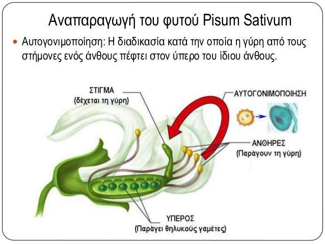 Αναπαραγωγή του φυτού Pisum Sativum  Αυτογονιμοποίηση: Η διαδικασία κατά την οποία η γύρη από τους στήμονες ενός άνθους π...