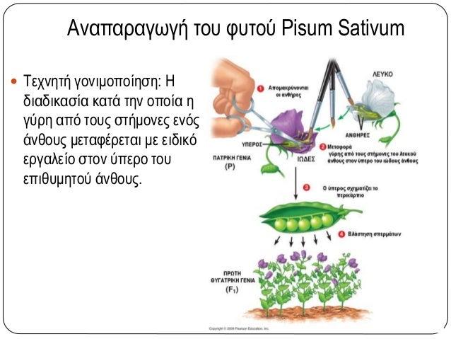 Αναπαραγωγή του φυτού Pisum Sativum  Τεχνητή γονιμοποίηση: Η διαδικασία κατά την οποία η γύρη από τους στήμονες ενός άνθο...