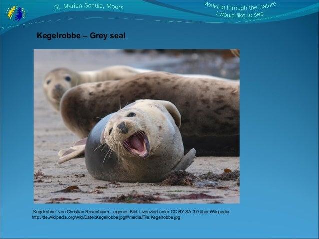 """Kegelrobbe – Grey seal """"Kegelrobbe"""" von Christian Rosenbaum - eigenes Bild. Lizenziert unter CC BY-SA 3.0 über Wikipedia -..."""