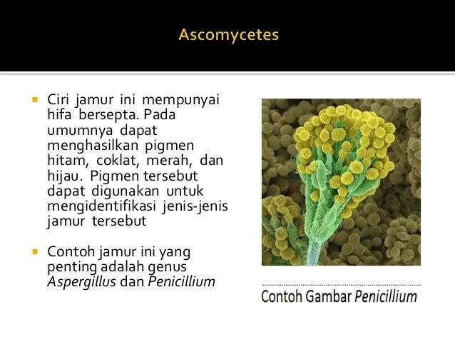 Jamur kelas deuteromycetes asexual reproduction