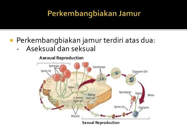 Jamur yang termasuk deuteromycetes asexual reproduction