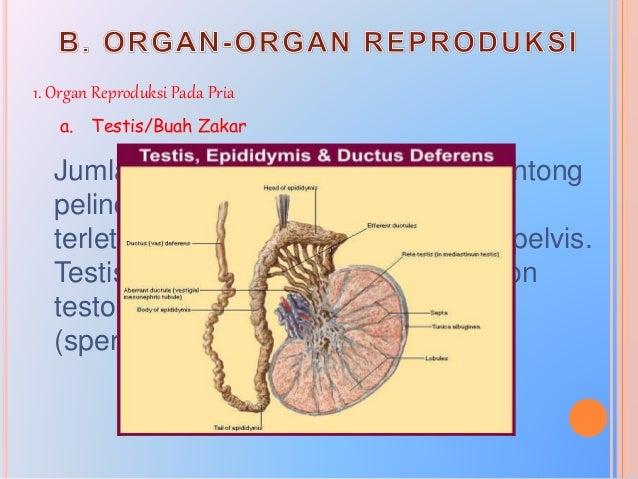 b. Saluran Reproduksi Saluran reproduksi pada pria terdiri atas: 1) Epididimis, merupakan tempat pendewasaan (pematangan) ...