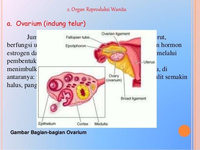 a. Spermatositogenesis Adalah tahapan di mana terjadinya perkembangan pada spermatogonium hingga menjadi spermatid. Sel-se...