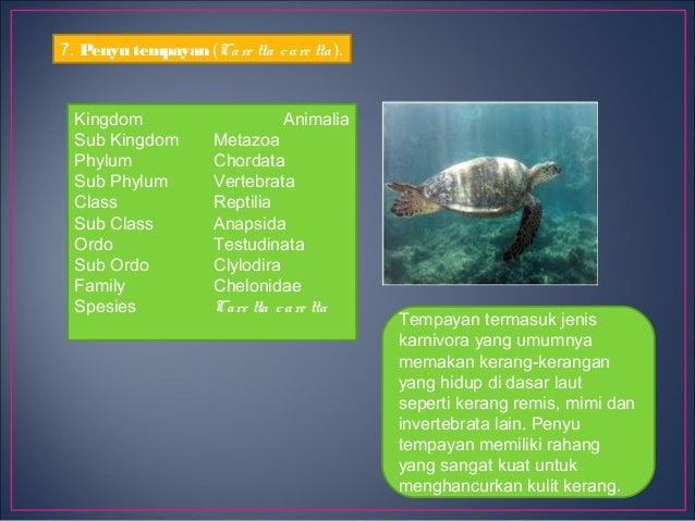 Reptil Laut Cb Perkembangbiakan Penyuperkembangbiakan Penyu