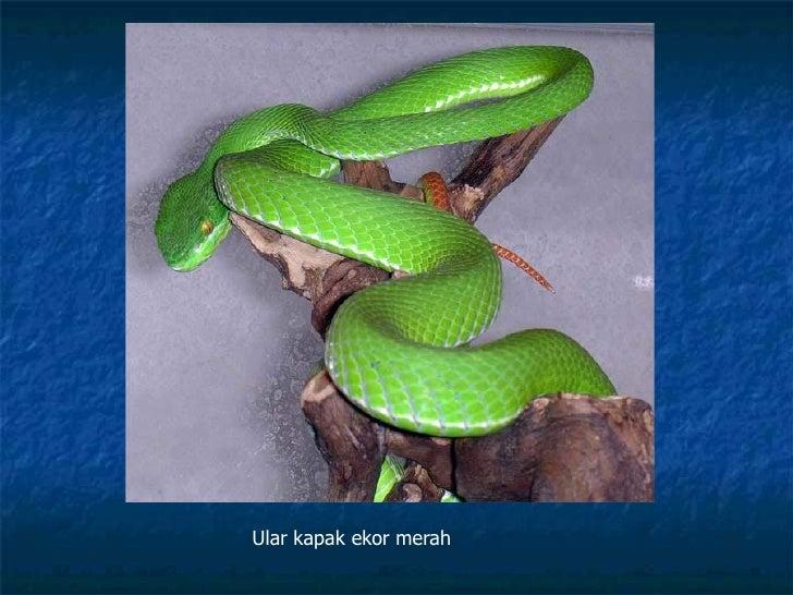 kenali ular snake