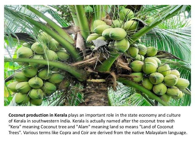 about coconut tree in malayalam