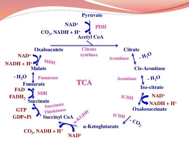 Pyruvate Acetyl CoA Citrate Cis-Aconitase Iso-citrate Oxalosuccinate ɑ-Ketoglutarate Succinyl CoA Succinate Fumarate Malat...