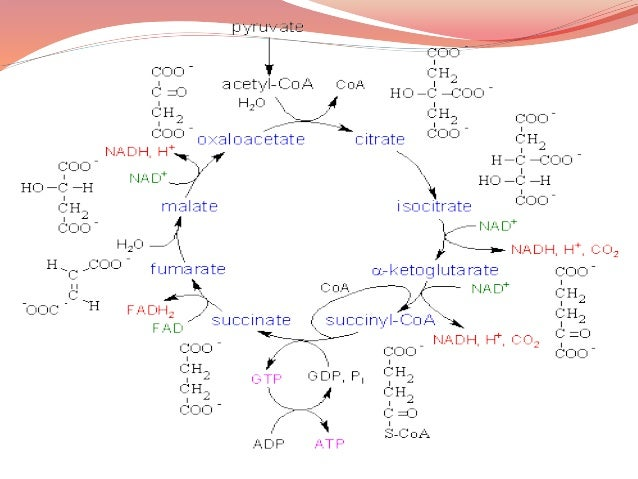 Regulation of TCA Cycle  Three regulatory enzymes 1. Citrate synthase 2. Isocitrate dehydrogenase 3.α-ketoglutarate dehyd...