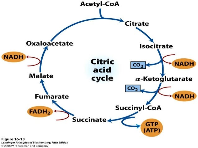  Citrate synthase is inhibited by ATP, NADH, acyl CoA & succinyl CoA.  Isocitrate dehydrogenase is activated by ADP & in...
