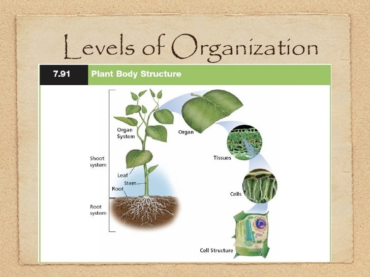 Keynote; ch. 10; plants Xylem And Phloem In Plants