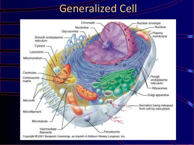 Miraculous Generalized Cell Structure Basic Electronics Wiring Diagram Wiring Digital Resources Indicompassionincorg