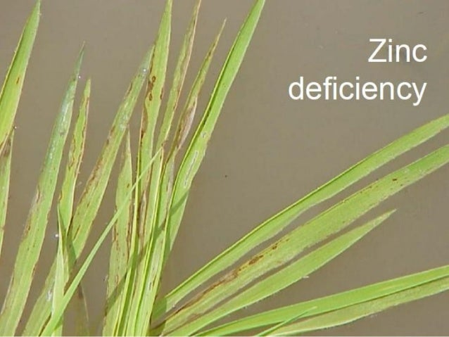 Disease Management • Dressing of sprouted 1% zinc oxide • Root dipping with 2% Zinc oxide for 1- 2 minutes • Zinc sulphate...
