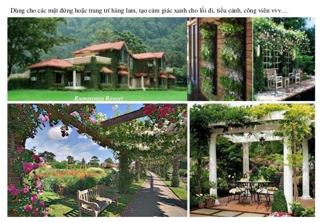 Ramganga Resort Dùng cho các mặt đứng hoặc trang trí hàng lam, tạo cảm giác xanh cho lối đi, tiểu cảnh, công viên vvv…