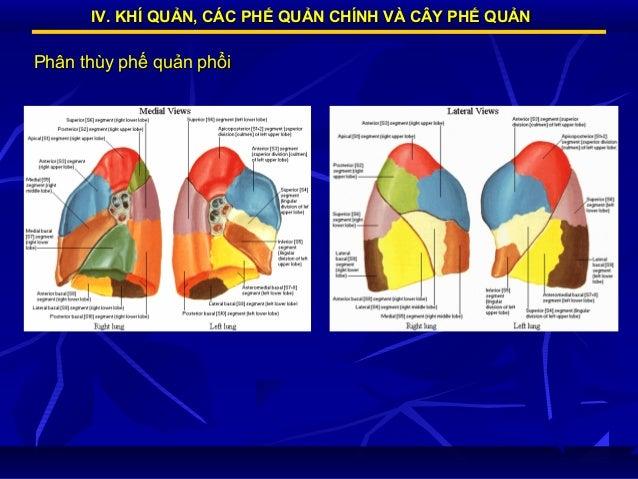 IV. KHÍ QUẢN, CÁC PHẾ QUẢN CHÍNH VÀ CÂY PHẾ QUẢN  Phân thùy phế quản phổi