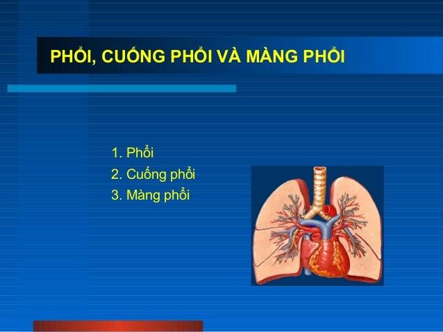 PHỔI, CUỐNG PHỔI VÀ MÀNG PHỔI  1. Phổi 2. Cuống phổi 3. Màng phổi